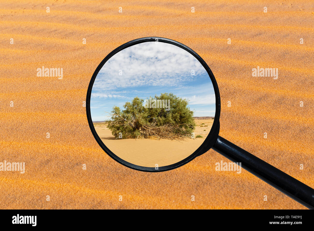 green shrub in the Sahara desert, view through a magnifying glass against the background of sand - Stock Image