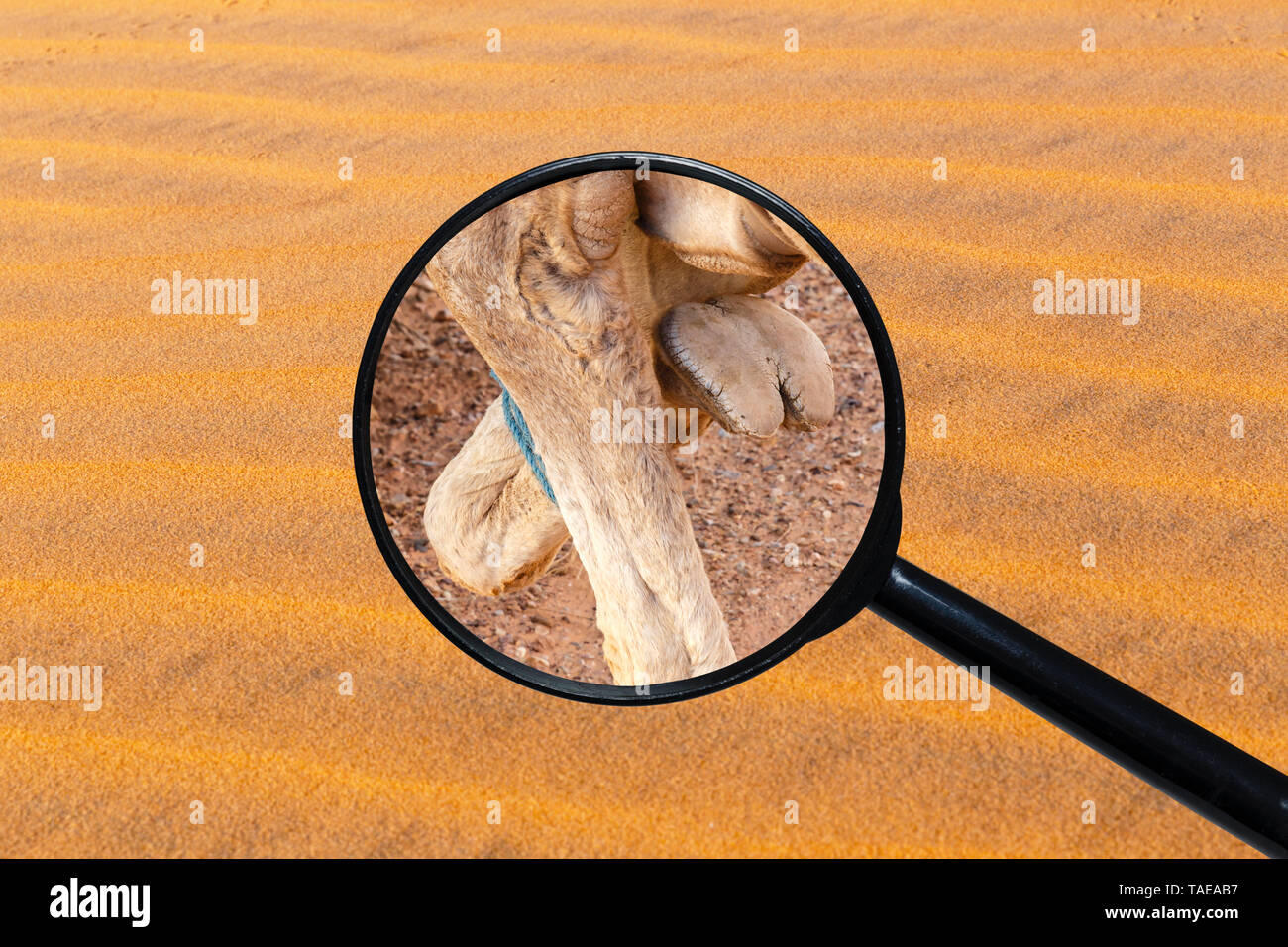 foot of a camel, view through a magnifying glass against the background of sand - Stock Image