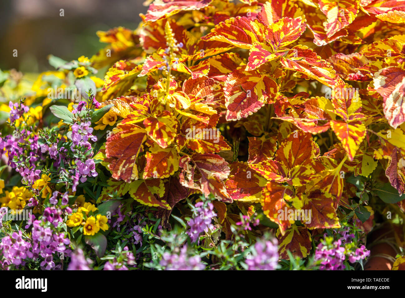 Coleus Plants With Decorative Leaves And Foliage Suitable For