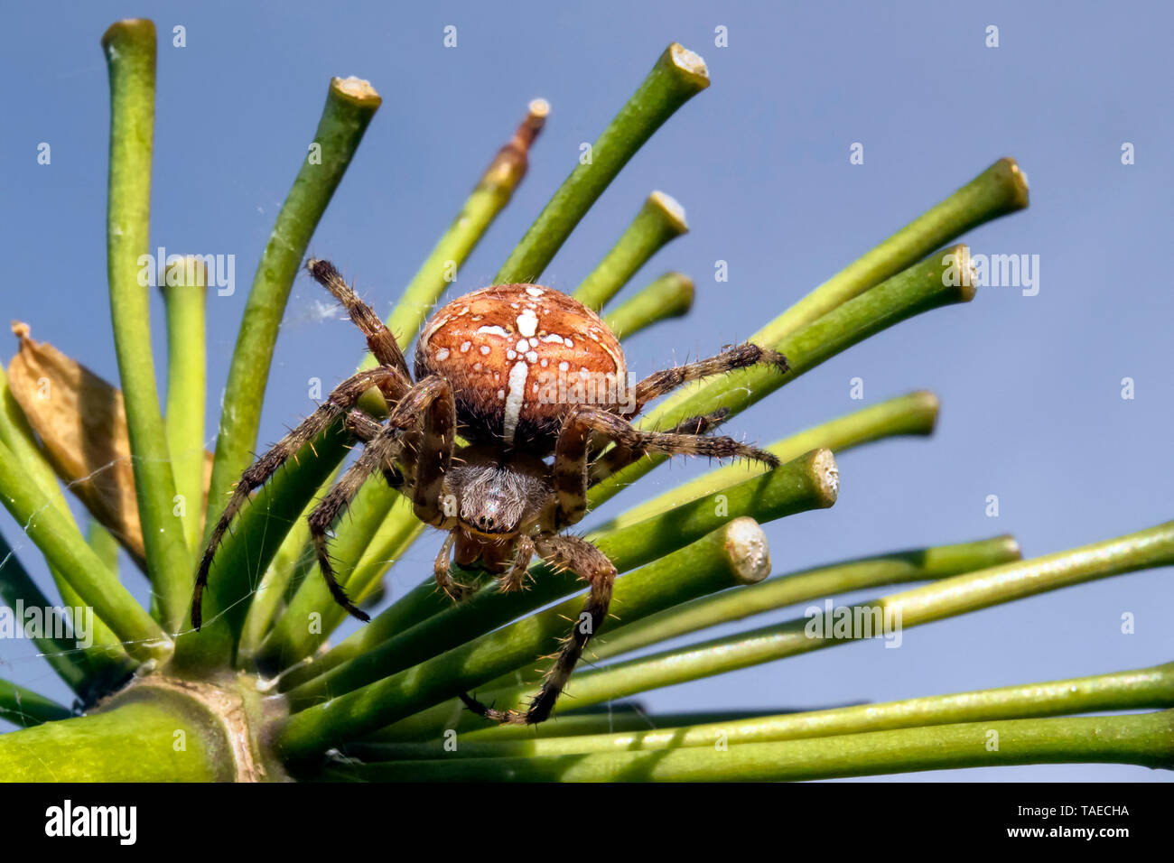 Cross orbweaver (Araneus diadematus) moving on an agapanthus stem to weave its web in the fall, Country Garden, Lorraine, France - Stock Image