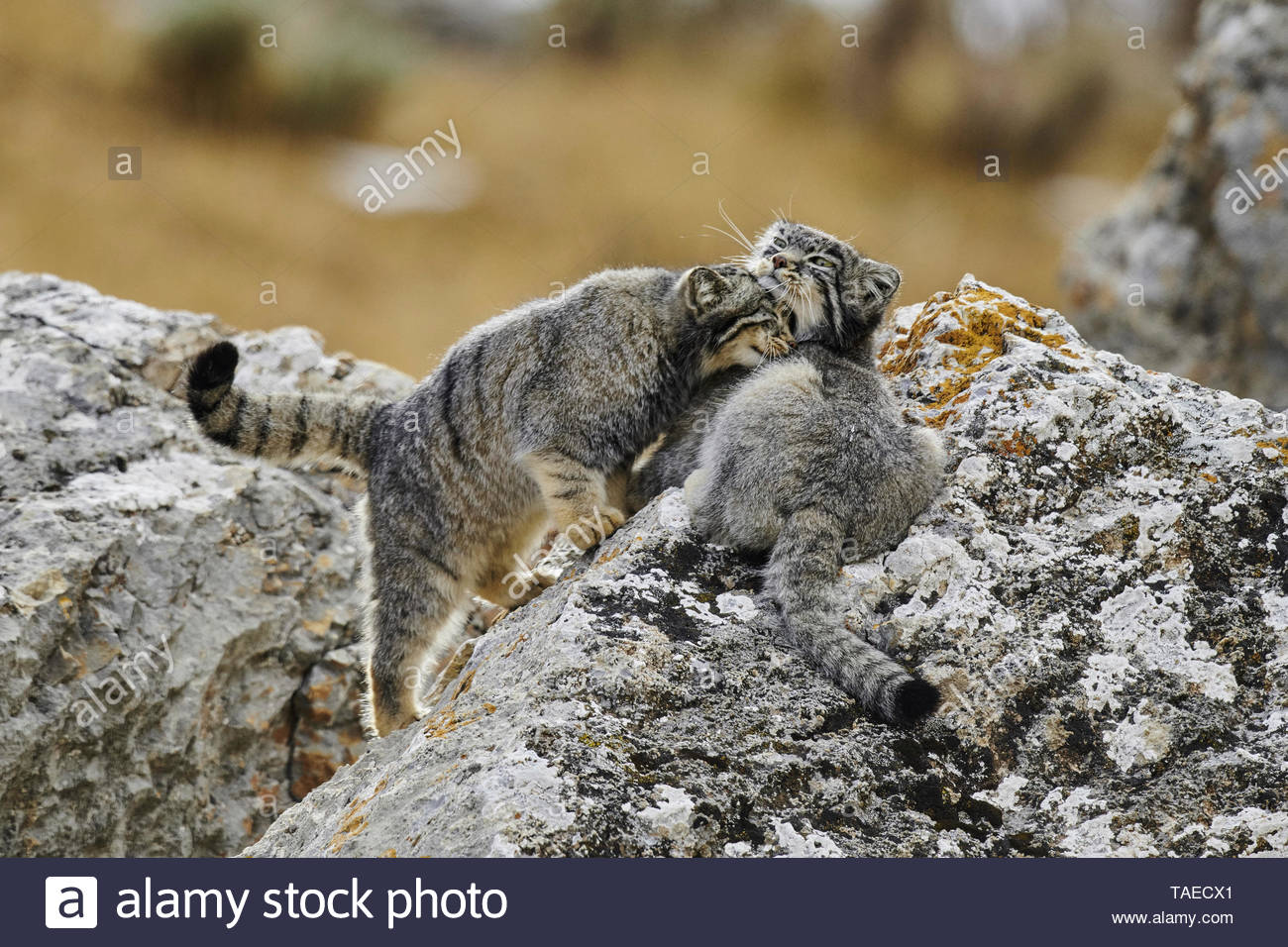 Pallas' cats (Otocolobus manul) on a rock, Tibetan Highland, Qinghai, China - Stock Image