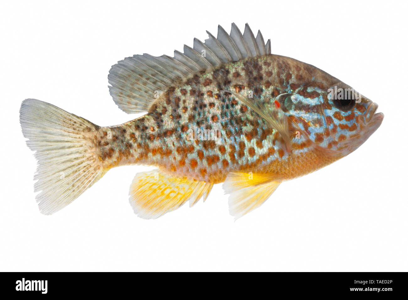 Pumpkinseed (Lepomis gibbosus) on white background, Sewen Lake, Doller Valley, Alsace, France - Stock Image