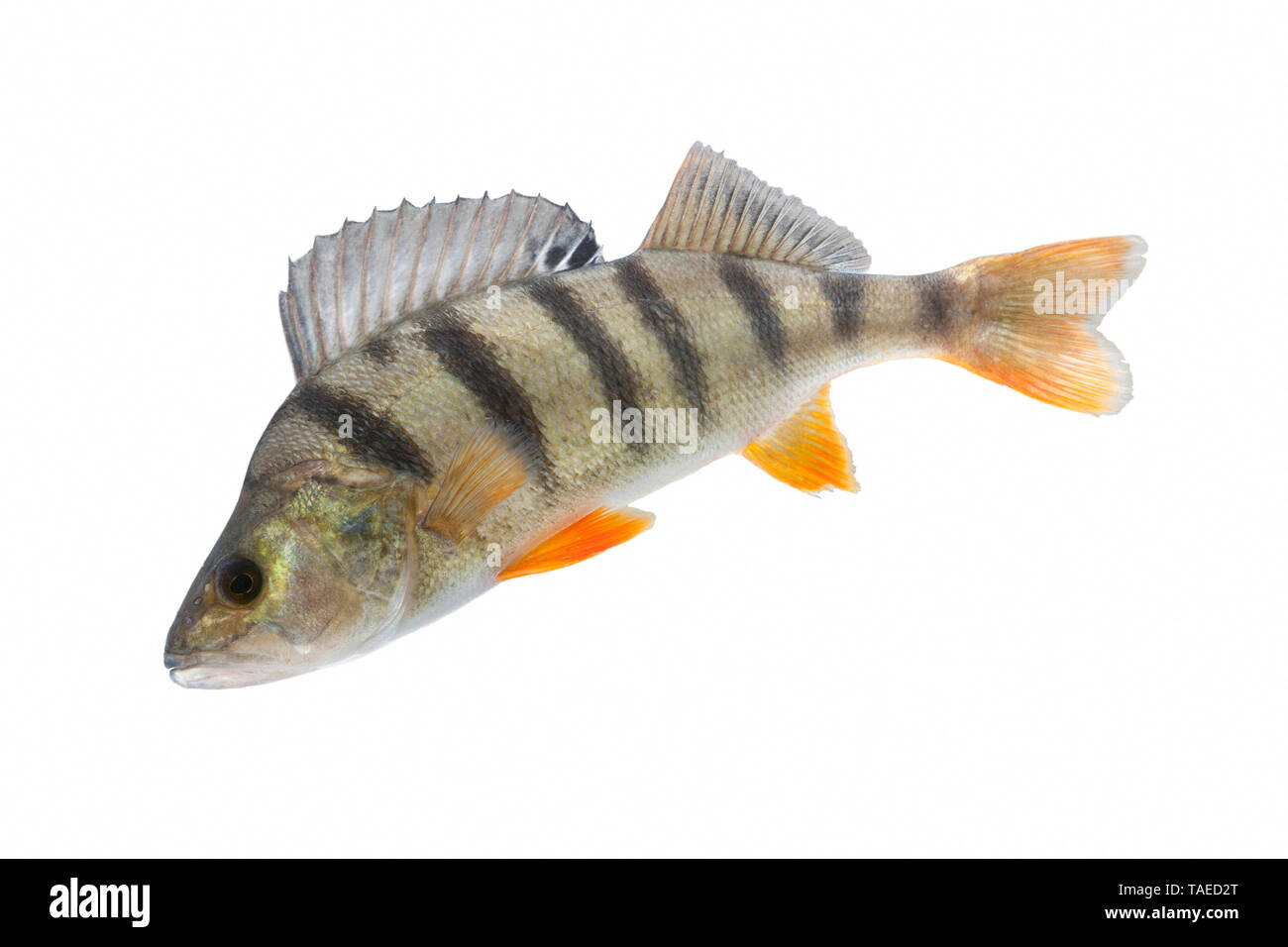 European perch (Perca fluviatilis) on white background, Sewen Lake, Doller Valley, Alsace, France - Stock Image