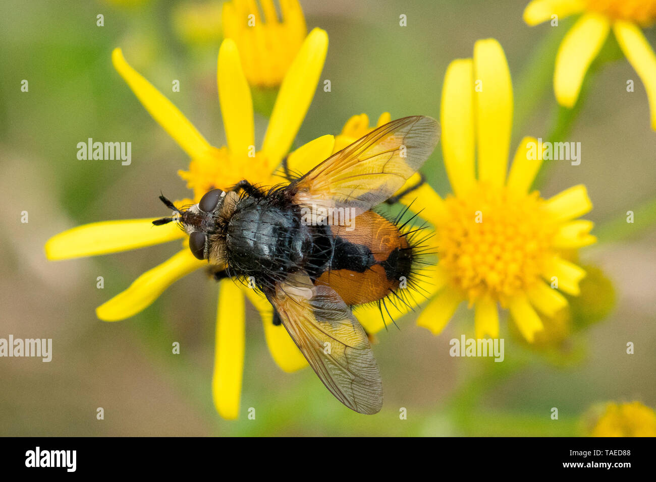 Tachinid fly (Nowickia ferox) on Common Ragwort flower, Bouxieres aux dames, Lorraine, France Stock Photo
