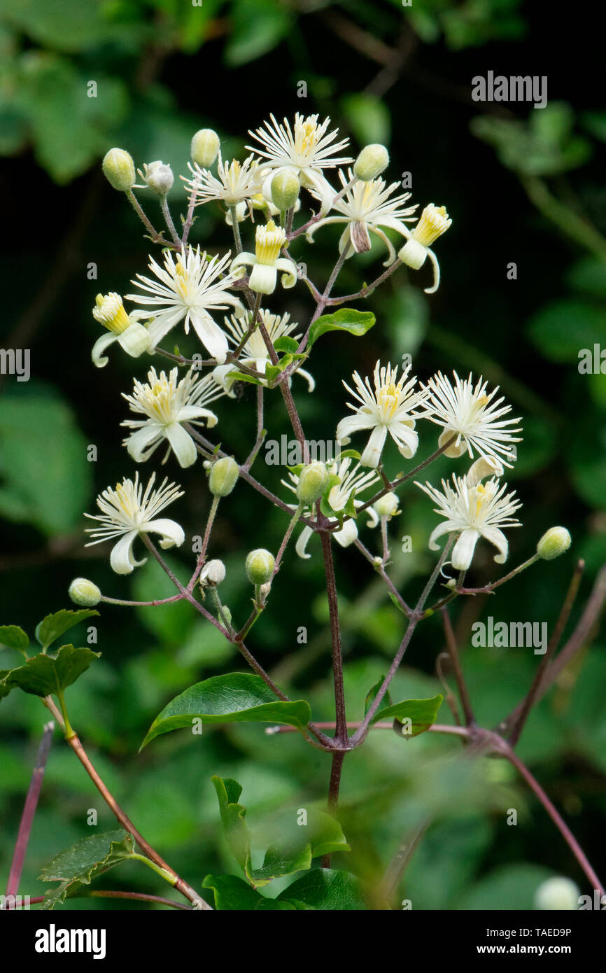 Old Man Beard (Clematis vitalba) flowers, Bouxieres aux dames, Lorraine, France - Stock Image
