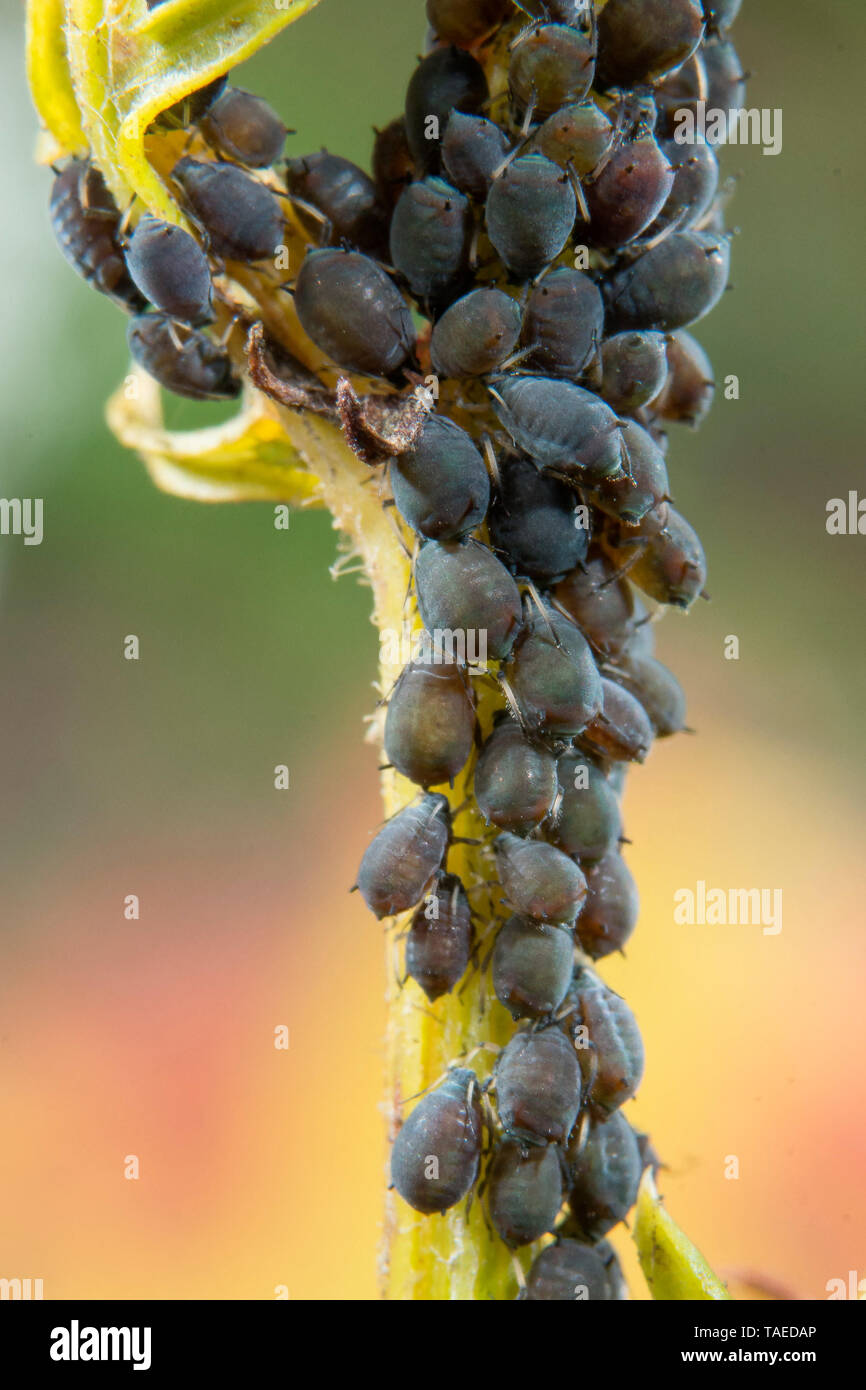 Aphidoidea colony of wingless form, Bouxieres aux dames, Lorraine, France Stock Photo