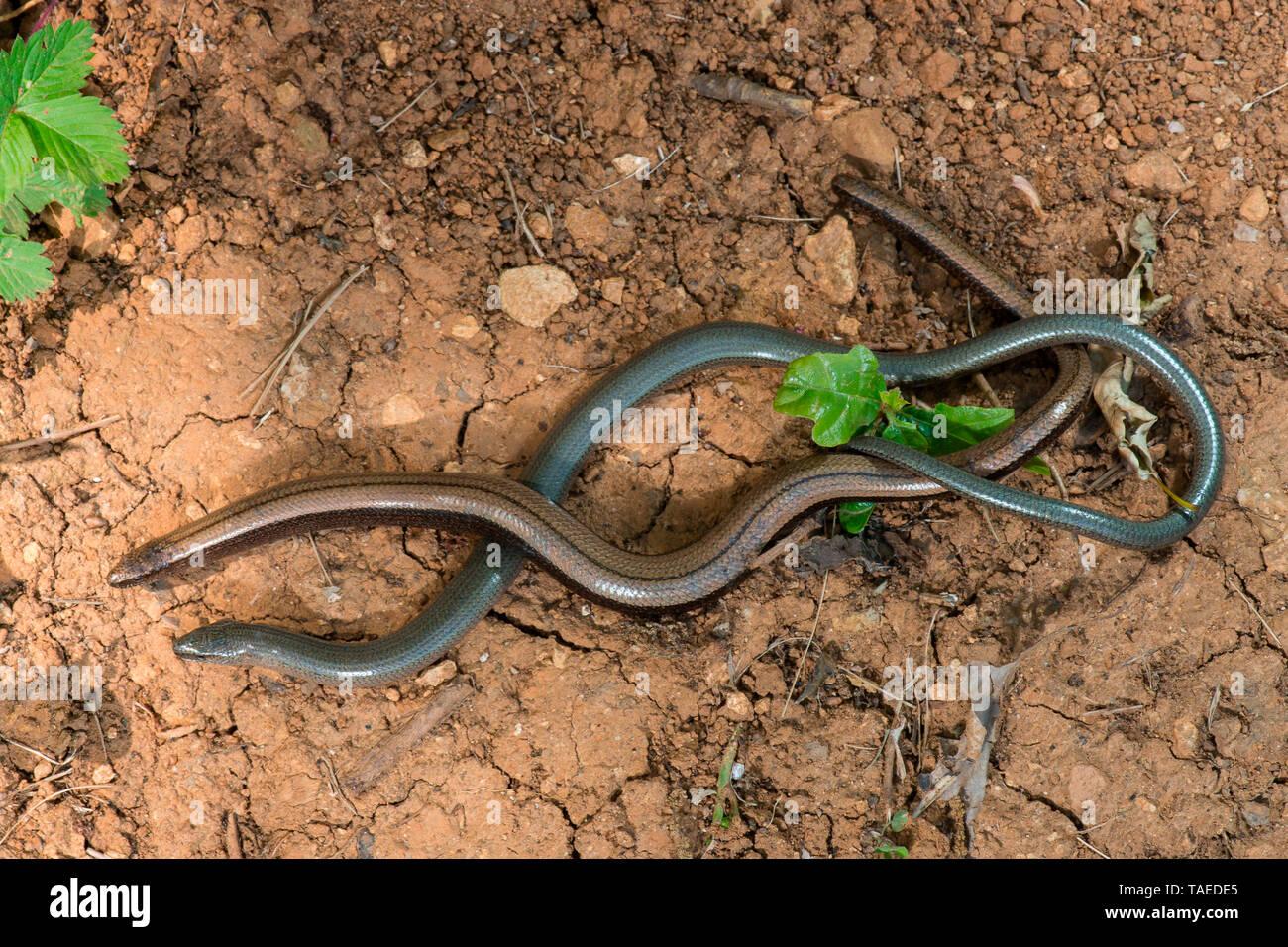 Slow worm (Anguis fragilis) couple in a garden, Bouxieres-aux-dames, Lorraine, France Stock Photo