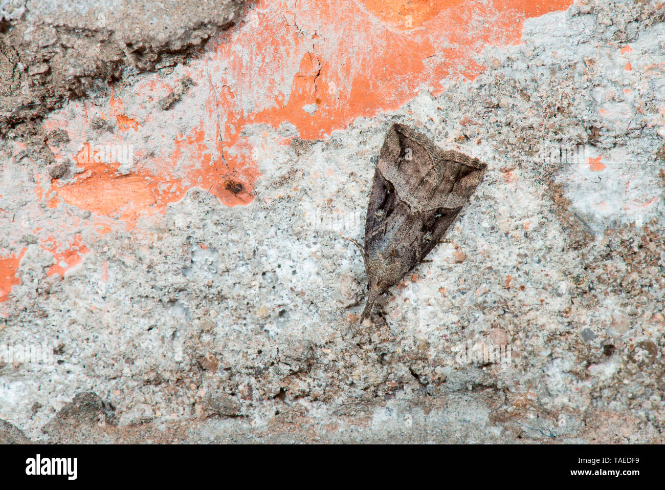 Buttoned Snout (Hypena rostralis) wintering cavernous butterfly, Mont Saint-Quentin Fort, Lorraine, France - Stock Image
