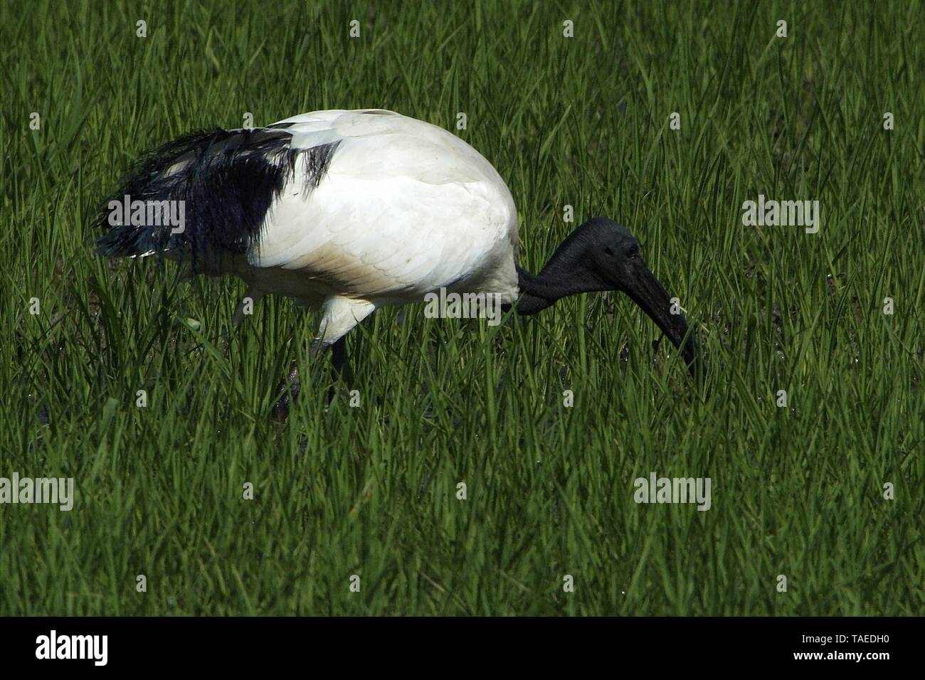 Sacred African ibis (Latin name threskiornis aethiopicus) wading in a paddy field in spring in Vercelli in the Po Valley in Italy - Stock Image