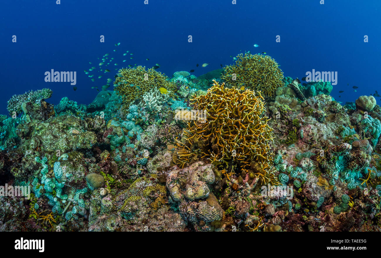 Tara Pacific expedition - november 2017 Colonies of Fire Coral (Millepora dichotoma), D: 7 m Fore reef, Banban and Muli Islets Fore Reef, Papua New Guinea Stock Photo