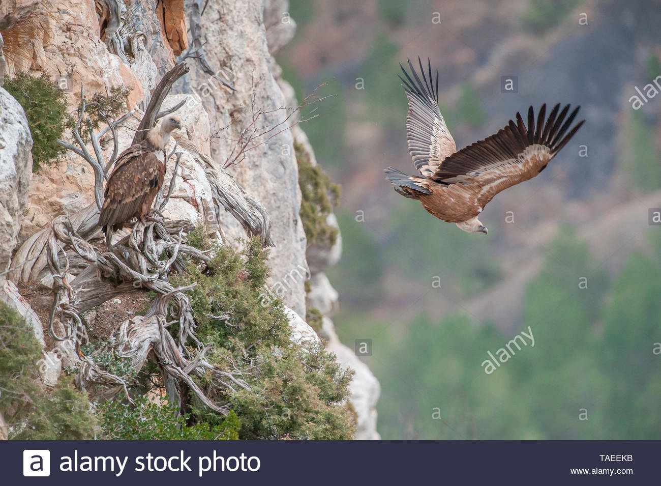 Flying vulture (Gyps fulvus) in flight, Drôme, France Stock Photo