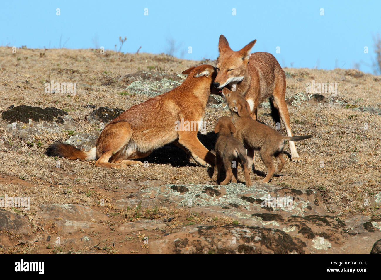 Abyssinian wolf (Canis simensis), alpha pair and 1-month-old wolf cubs, Web Valley, Bale mountains, Ethiopia - Stock Image
