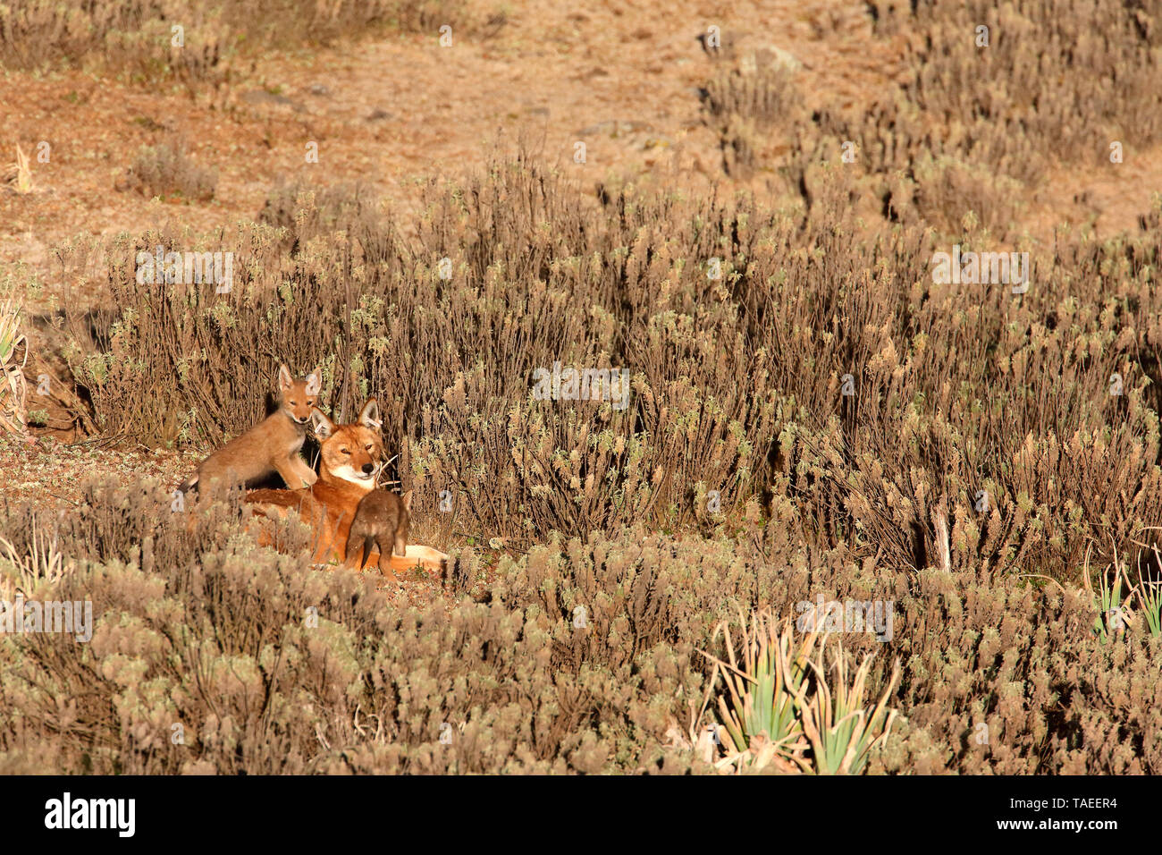 Abyssinian wolf (Canis simensis) Alpha she-wolf and 1 month old wolf cubs, Web Valley, Bale mountains, Ethiopia - Stock Image