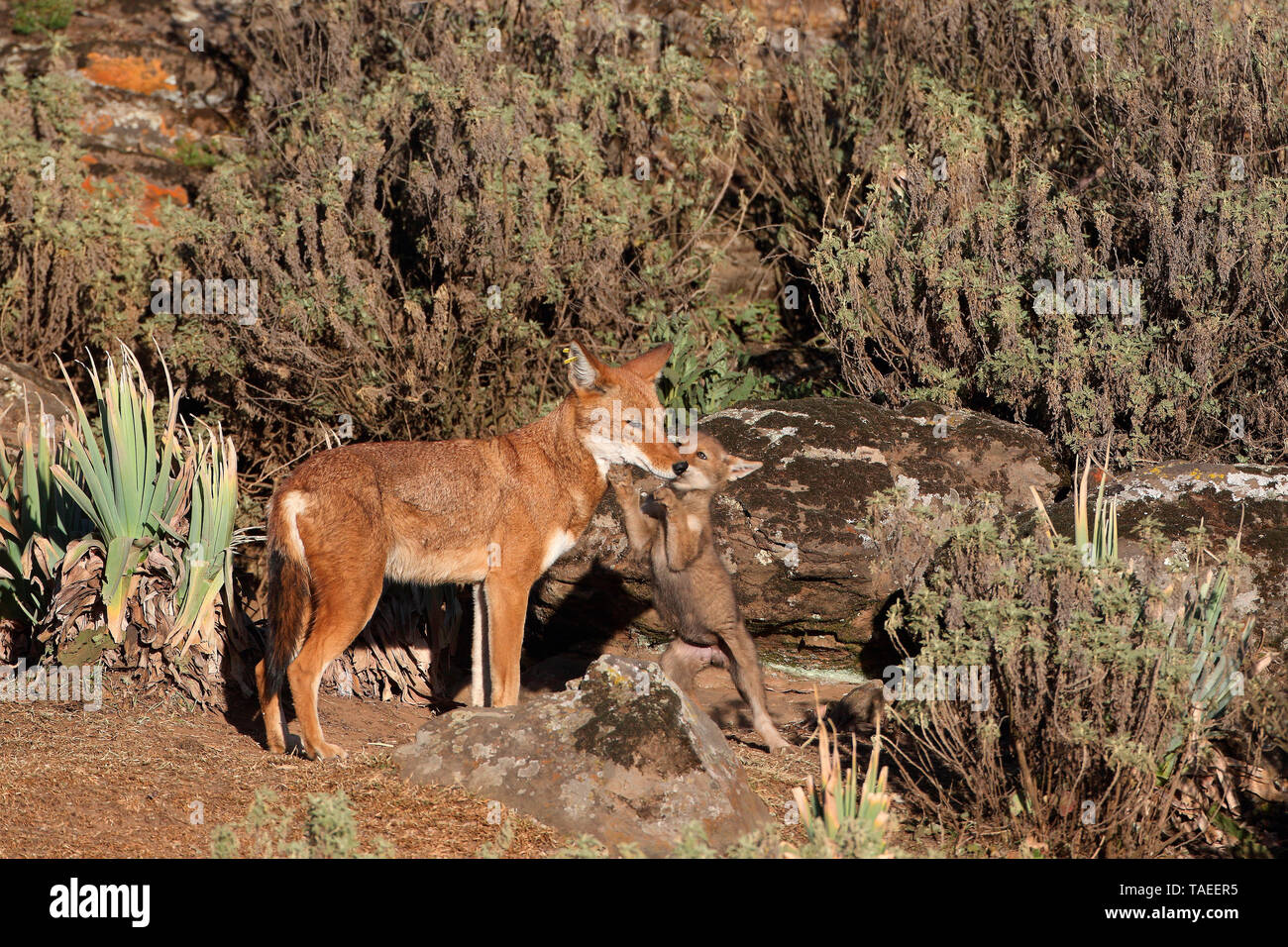 Abyssinian wolf (Canis simensis) Alpha she-wolf and 1 month old cub, Web Valley, Bale mountains, Ethiopia - Stock Image