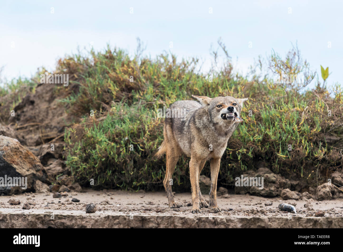 Coyote (Canis latrans), Baja California. Mexico. - Stock Image