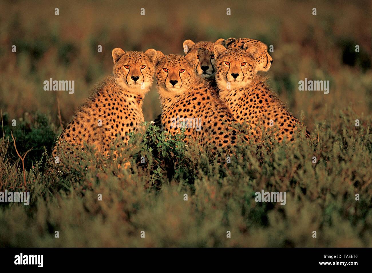 Cheetah (Acinonyx jubatus) sibling, Serengeti, Tanzania - Stock Image