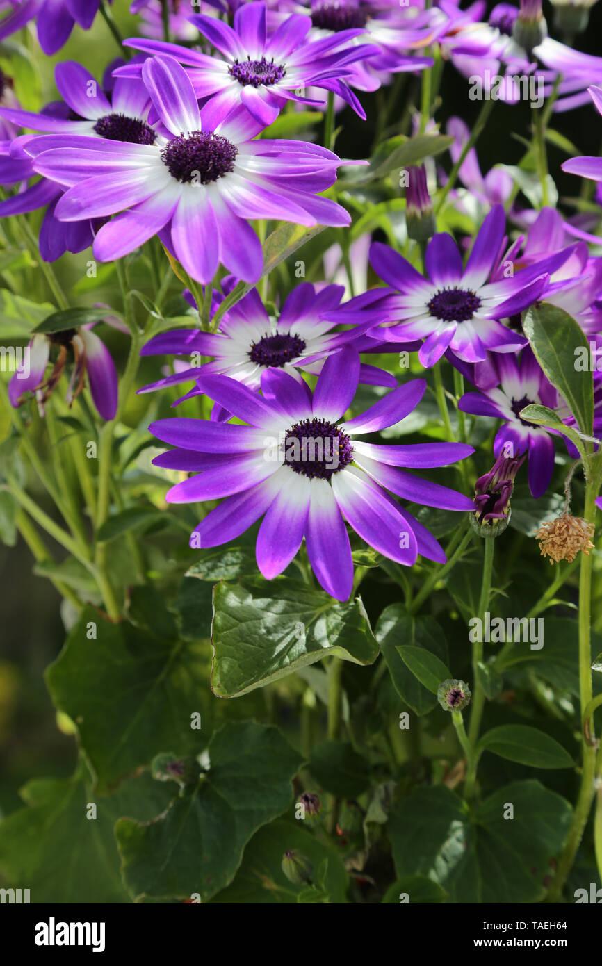 Violet Senetti pericallis bicolour flowers against green leaves - Stock Image