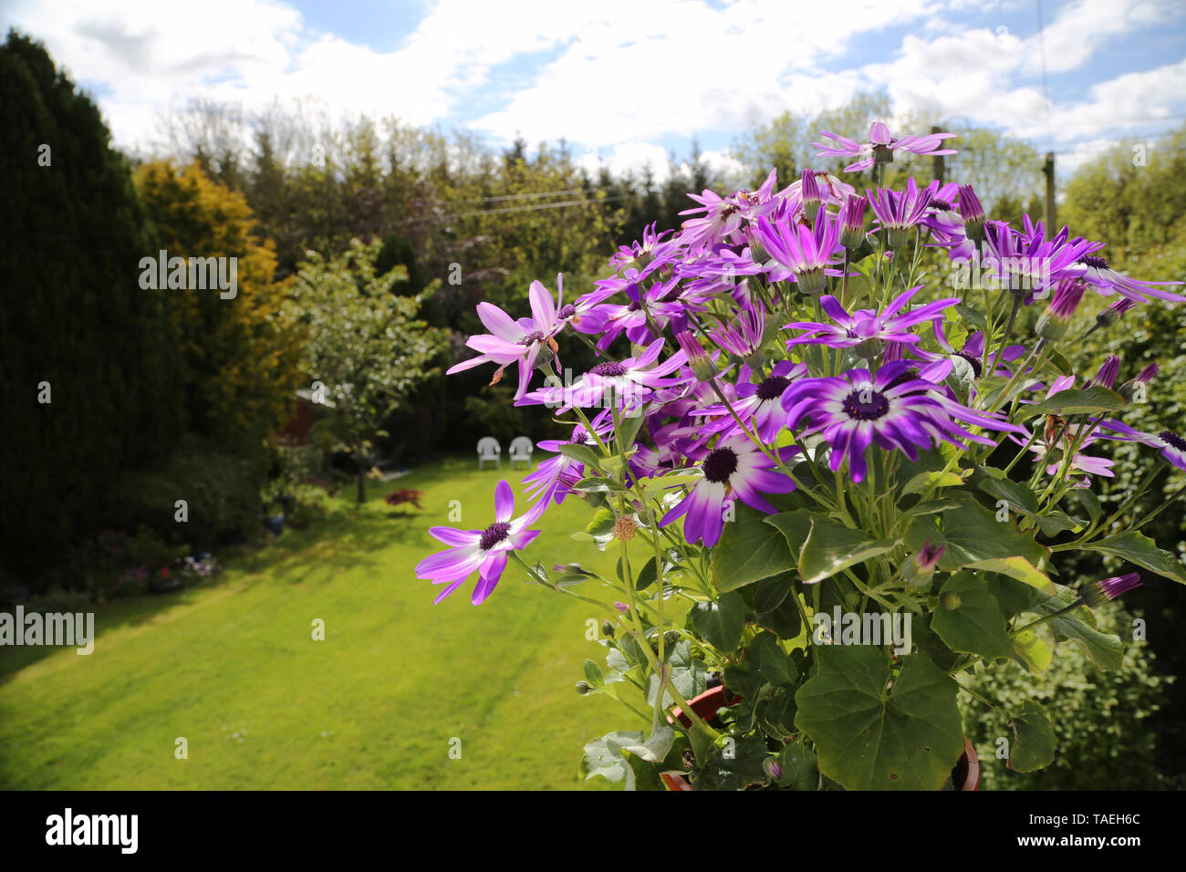 Violet senetti Flowers in the foreground with a green lawn and white deckchairs in the background - Stock Image