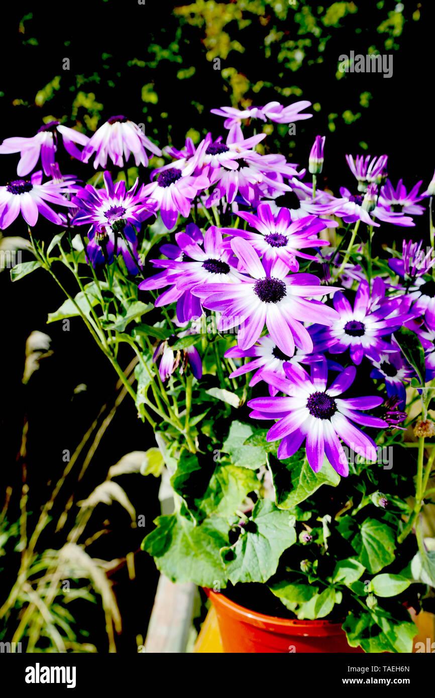 Pericallis. Violet Senetti flowers in a pot - Stock Image