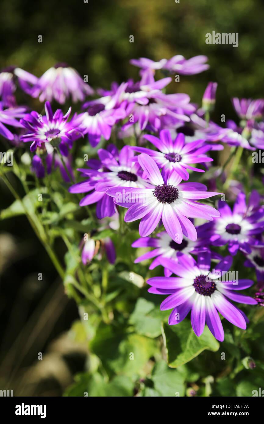 Senetti Violet Bicolor Flowers in bloom. Genus Pericallis - Stock Image