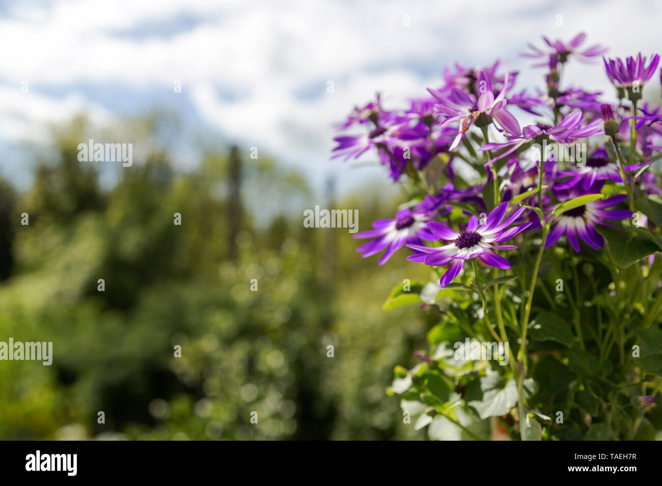 Violet Flowers. Senetti Violet Bicolor  (genus  Pericallis) flowers against a background of clouds and trees - Stock Image