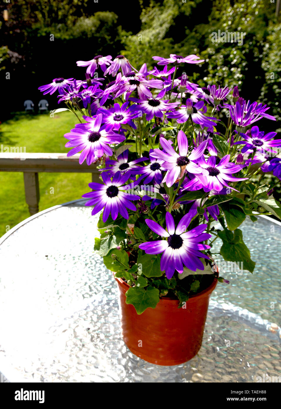 Violet senetti flower( Pericallis) in a brown flower pot on a table - Stock Image
