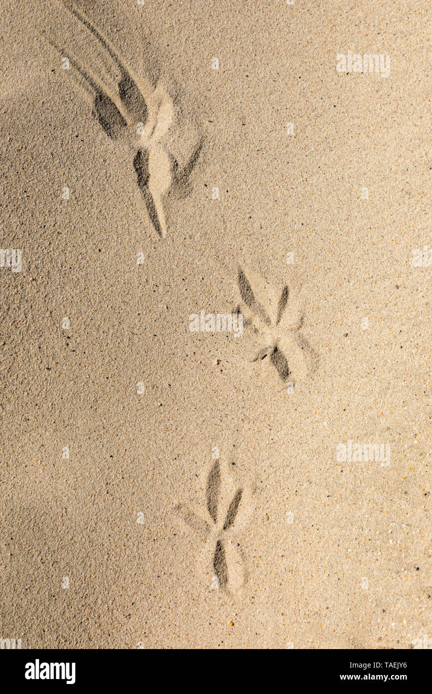 Three footprints left in sand on a beach, by a bird. - Stock Image