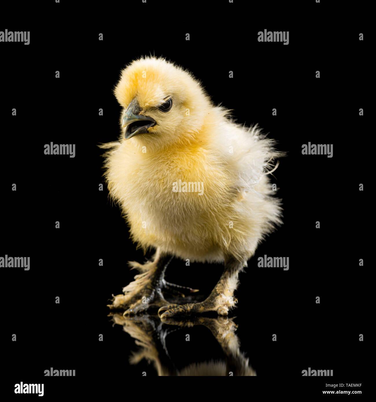 Chicken With Open Beak Stock Photos & Chicken With Open Beak