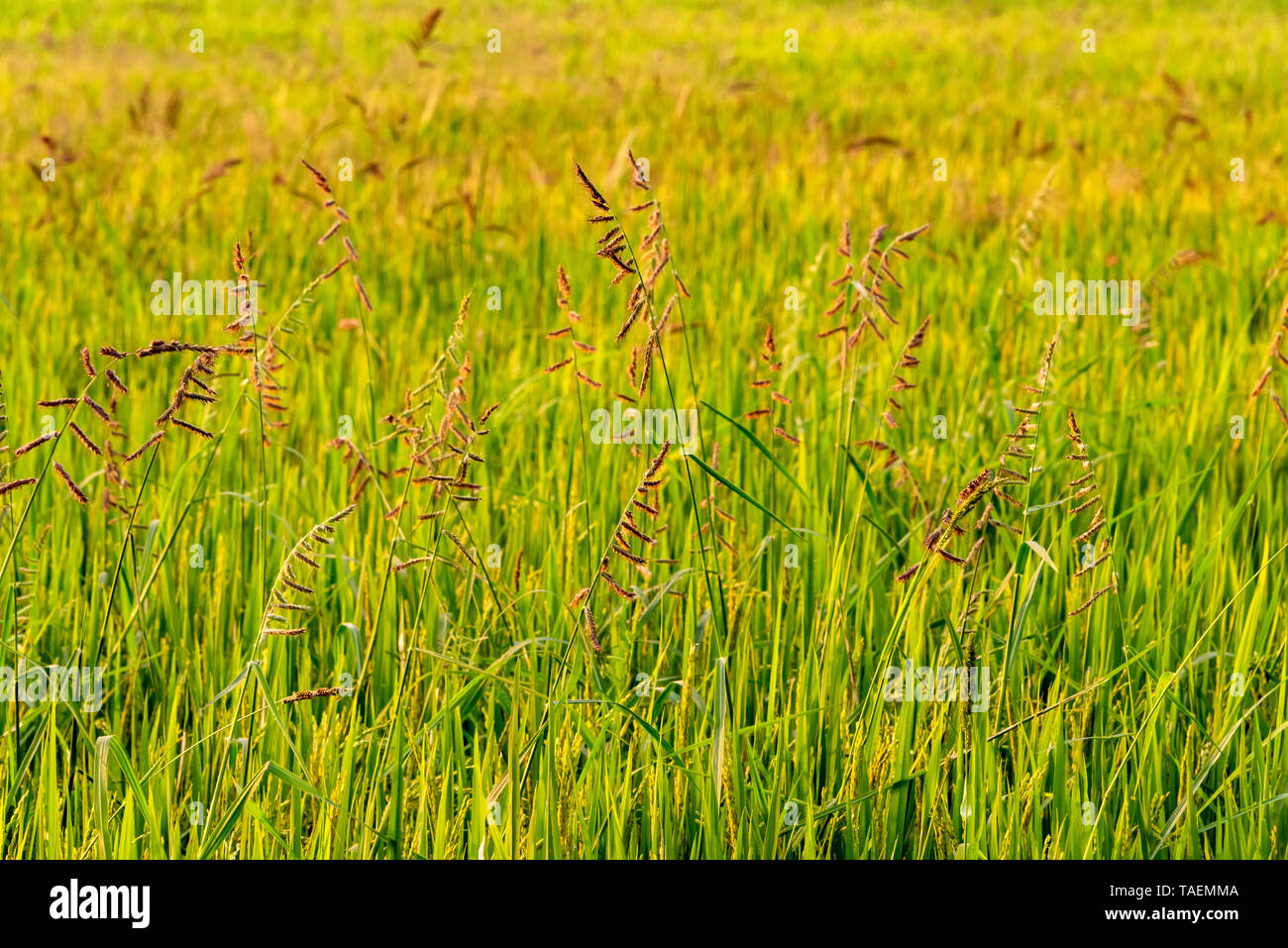 Horizontal view of rice growing in a paddy field in India. - Stock Image