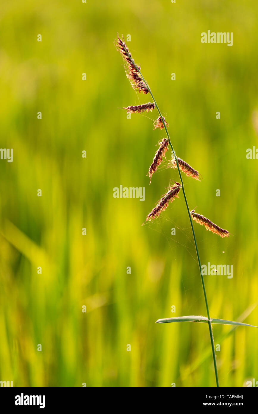 Vertical view of rice growing in a paddy field in India. - Stock Image