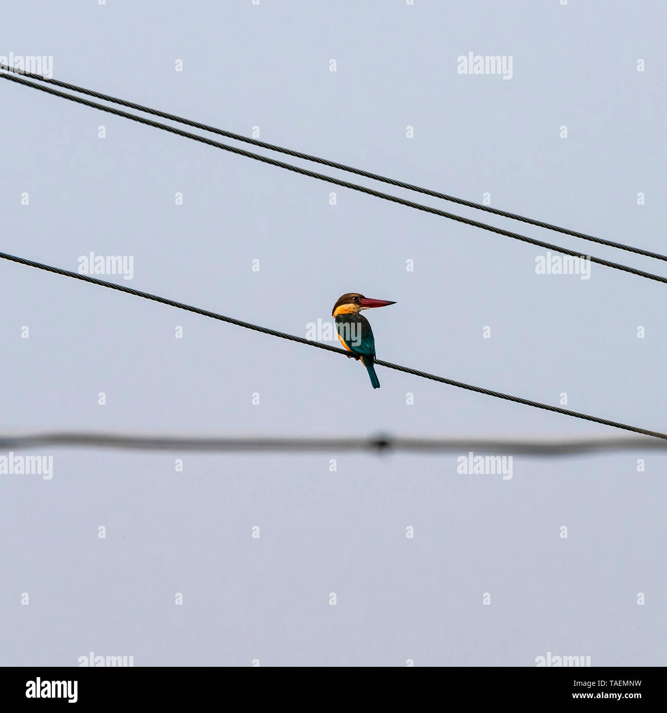 Square view of a stork-billed kingfisher on overhead cables in India. - Stock Image