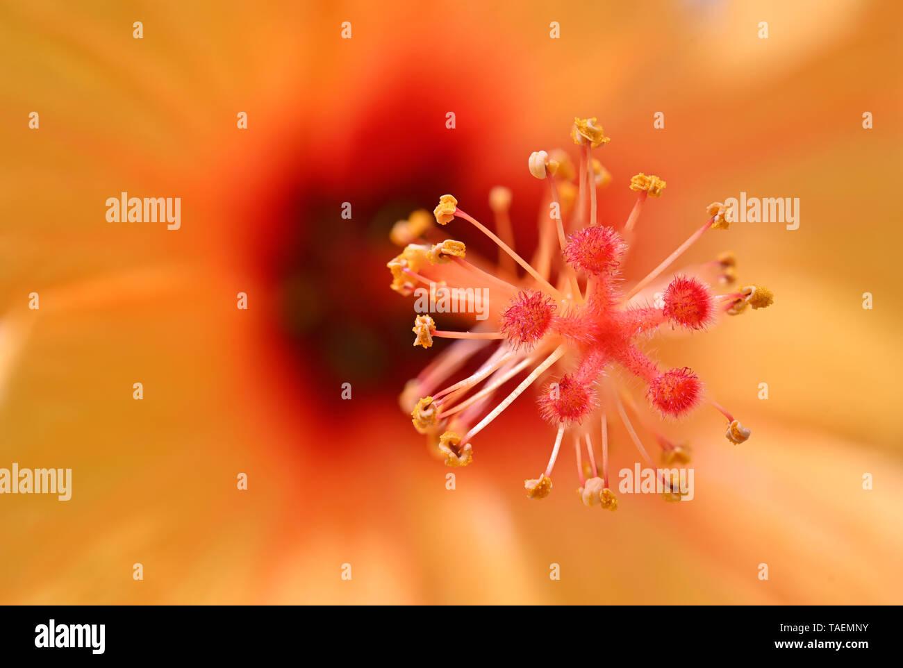 Hibiscus flower - Stock Image