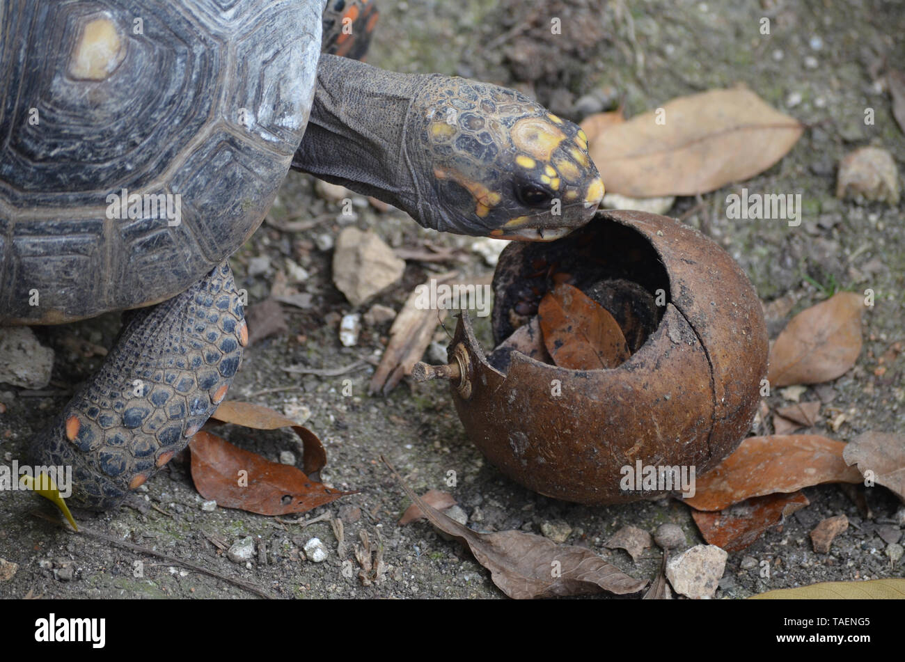 Red-footed tortoise (Chelonoidis carbonaria) kept in captivity at Quinta de los Molinos garden (Havana, Cuba) - Stock Image