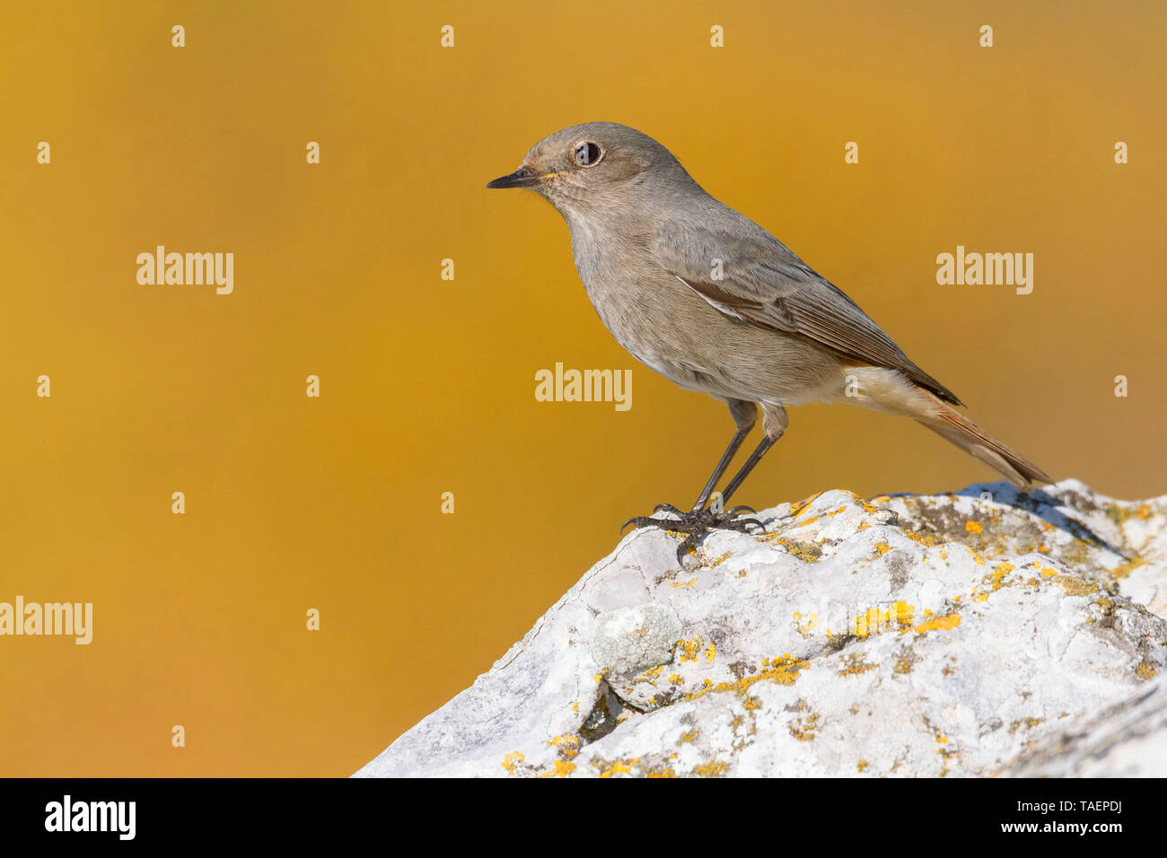 Black Redstart (Phoenicurus ochruros gibraltariensis), Standing on a rock, Campania, Italy, Stock Photo