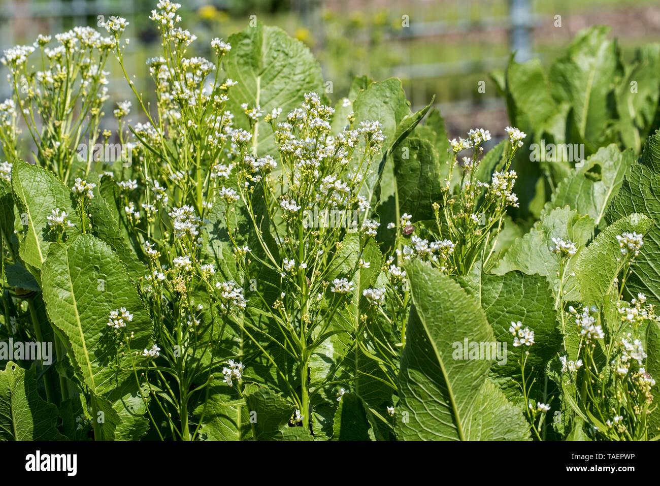 Horseradish (Armoracia rusticana / Cochlearia armoracia) in flower, native to southeastern Europe and western Asia Stock Photo