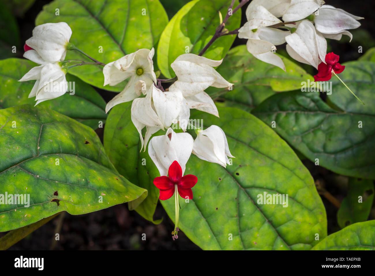 Bleeding glory-bower / bagflower / bleeding-heart vine (Clerodendrum thomsoniae) in flower, evergreen liana native to tropical West Africa - Stock Image