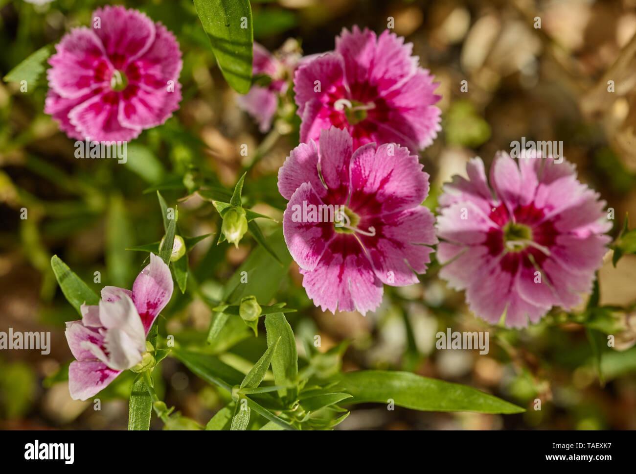 Dianthus plant portrait in a london urban garden, England United Kingdom, Europe - Stock Image