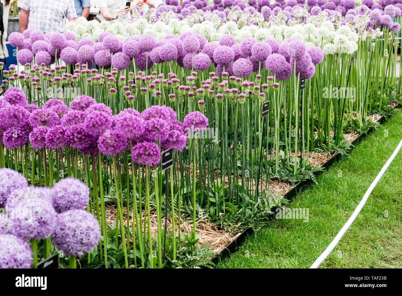 Allium Flowers at The Chelsea Flower Show 2019 London UK - Stock Image