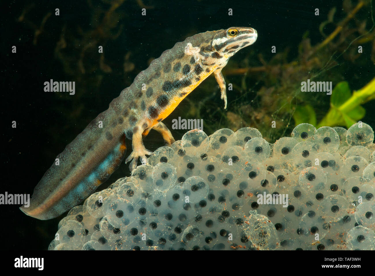 Common Newt (Lissotriton vulgaris), male on a spawning of European Frog, Saulxures-les-Nancy, Lorraine, France - Stock Image