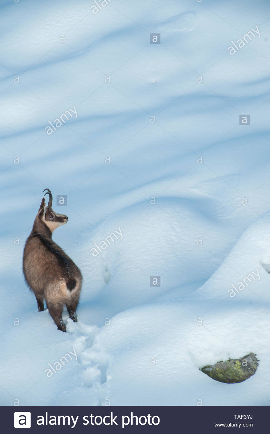 Rut of chamois (Rupicapra rupicapra) in more than 1 meter of fresh snow, Alps, Italy - Stock Image