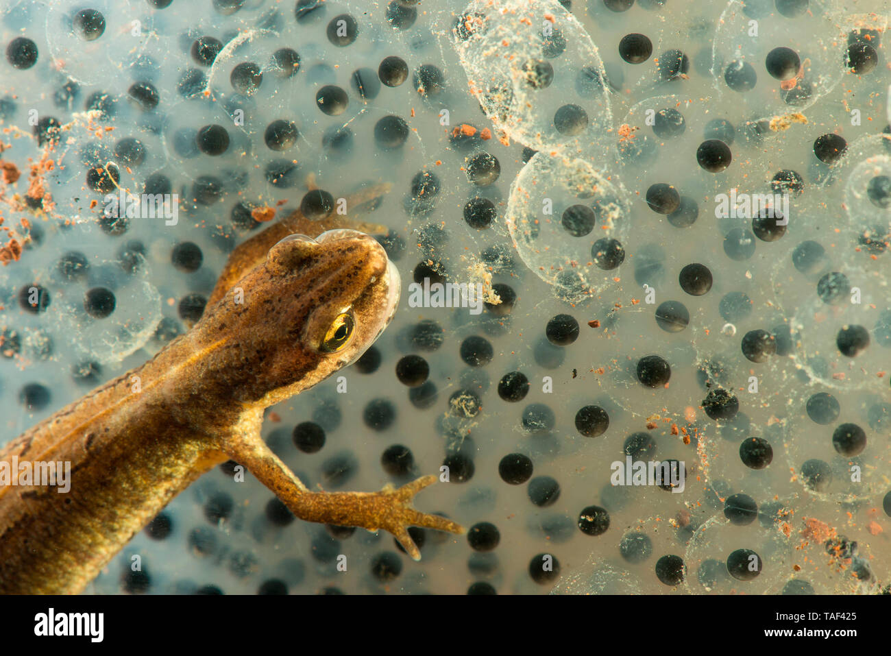 Common Newt (Lissotriton vulgaris) female eating a red-rumped frog, Saulxures-les-Nancy, Lorraine, France - Stock Image