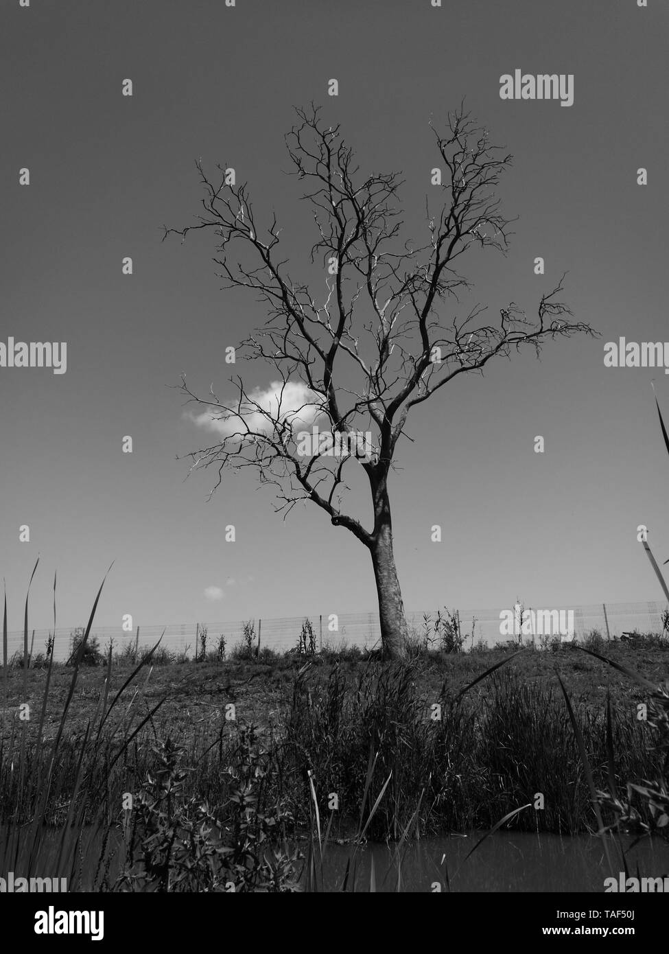 long dead eucalyptus tree - Stock Image