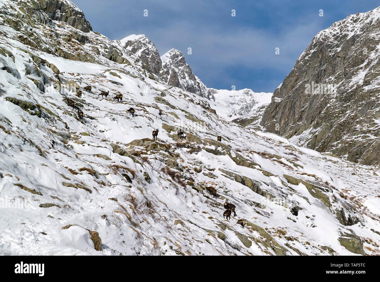 Alpine Chamois Flock (Rupicapra rupicapra) grazing in the Gordolasque Valley in autumn, Mercantour National Park, Alps, France Stock Photo