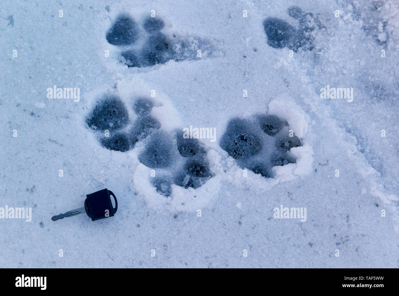 Footprints of European Wolf (Canis lupus) in the snow in autumn, Mercantour National Park, Alps, France - Stock Image
