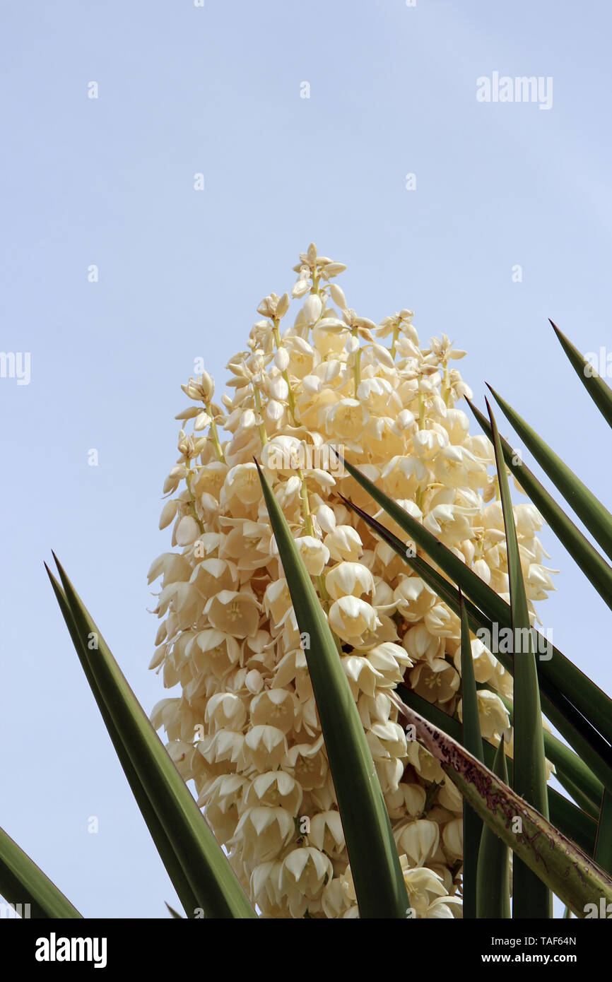 Close up of the top of a profusely flowering Mojave Yucca Plant in Arizona, USA - Stock Image