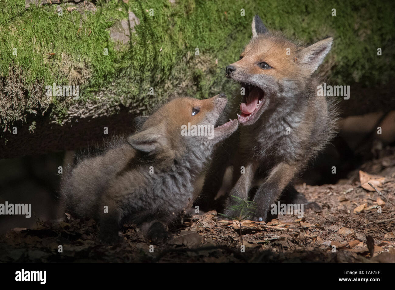 Red fox (Vulpes vulpes) young playing, Vosges, France - Stock Image