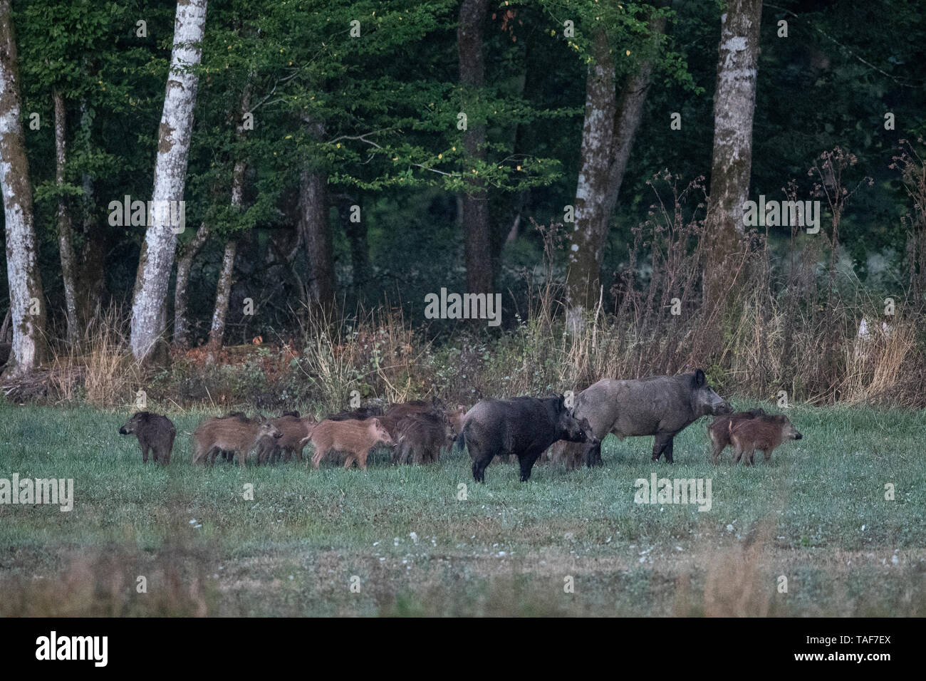 Wild boar (Sus scrofa) and youngs in clearing, Vosges, France - Stock Image
