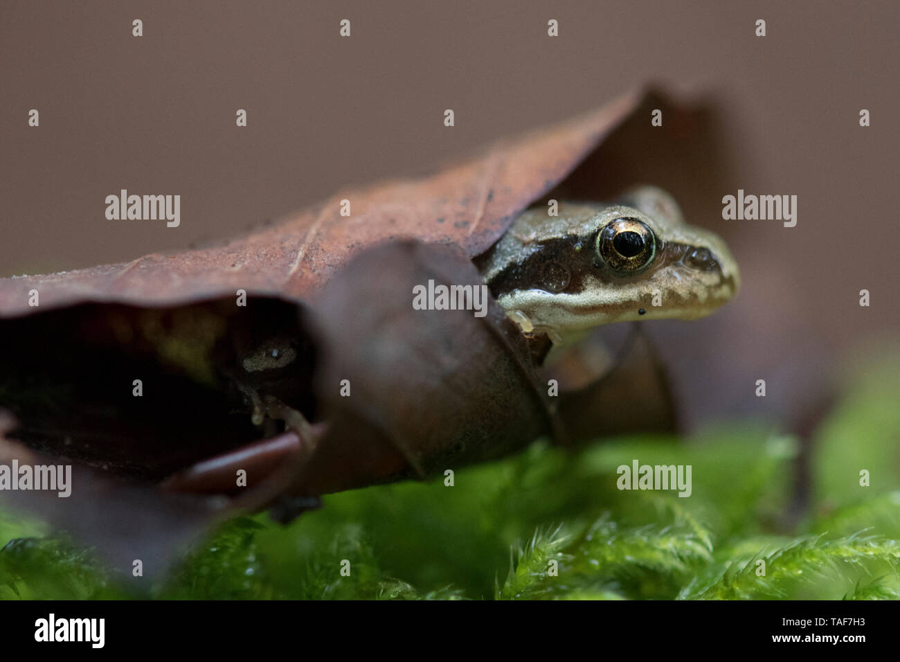 European frog (Rana temporaria) in a dead leaf, Vosges, France - Stock Image