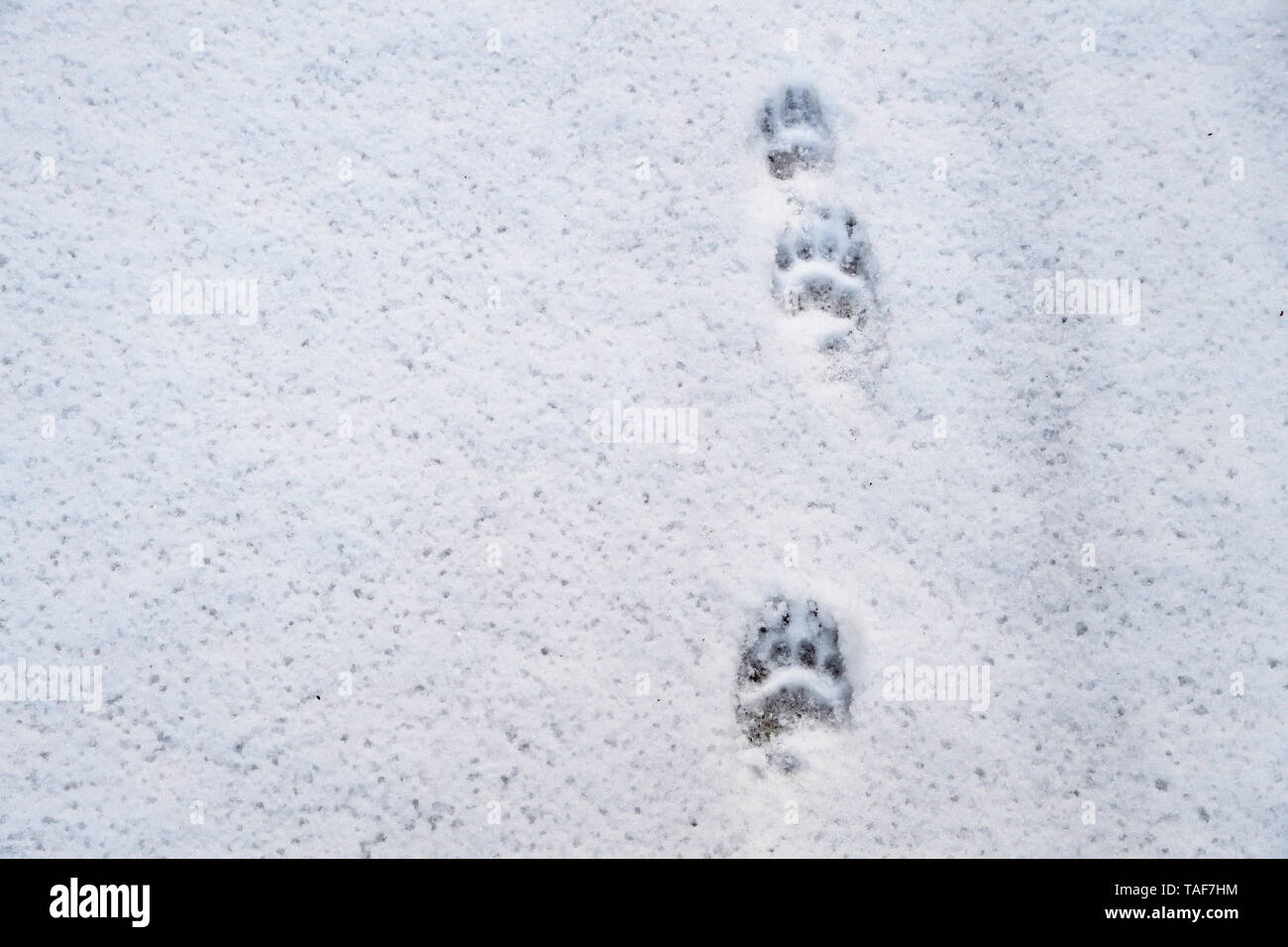 Badger's prints in the snow, Vosges, France - Stock Image