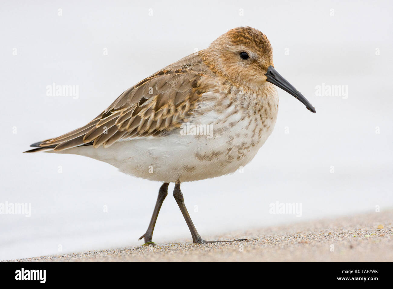 Dunlin (Calidris alpina), first winter individual standing on the shore, Campania, Italy Stock Photo
